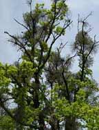 stromy, brečtan, imelo