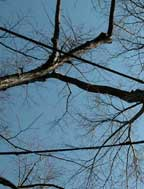 istenie koruny stromu